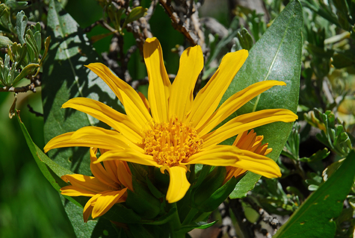 A bright yellow flower with multiple slender pedals surrounded by large green leafs.