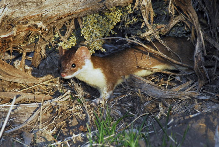 A small weasel-like animal with brown and white fur peaks out from unders a log.