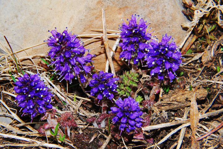 Small bright purple flowers clustered in a spherical shape growing in a group in the alpine zone.