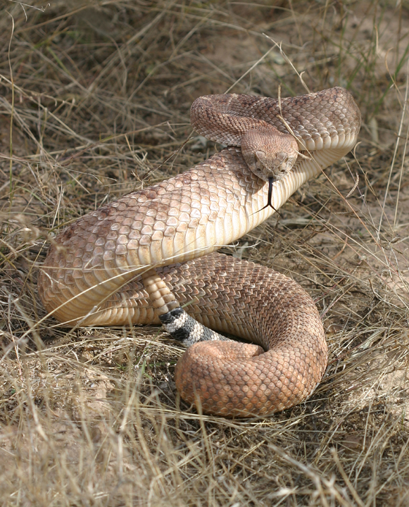 A close-up of a Western Diamondback (crotalus atrox) that is curled up in a strike formation in the Indian Well Wilderness Unit