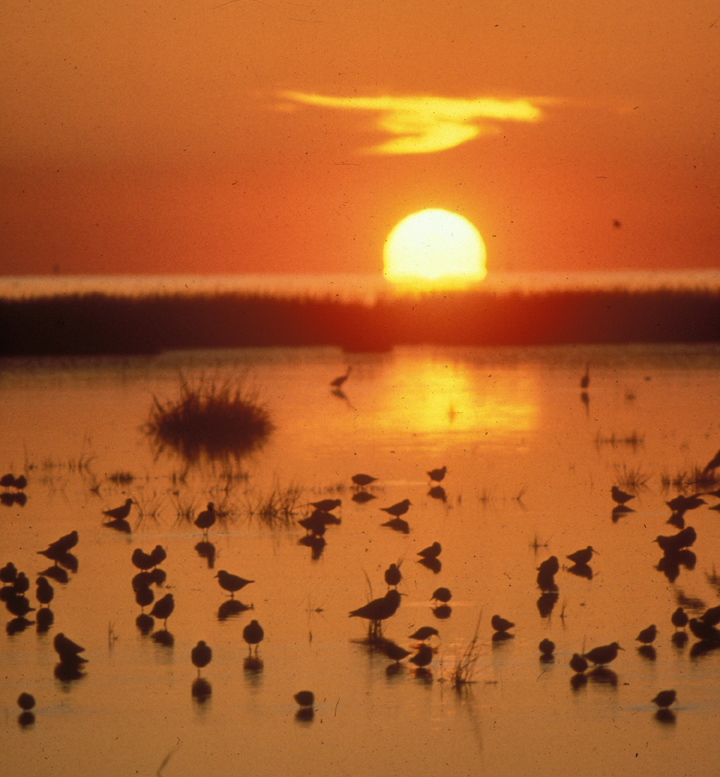 The bright orange sun plunges below the horizon as birds feed in a tidal wetland.