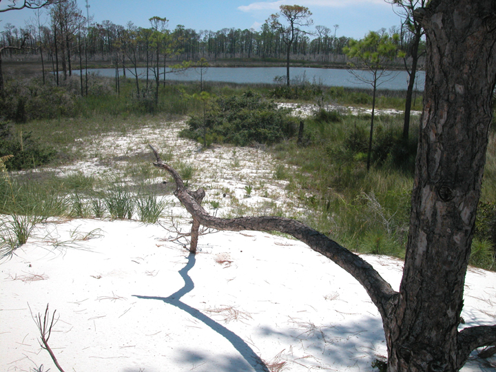 A low branch jutts out over sand and sparse grass.  A pond is in the background.