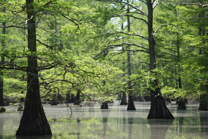 Cypress trees grow throughout a swamp.