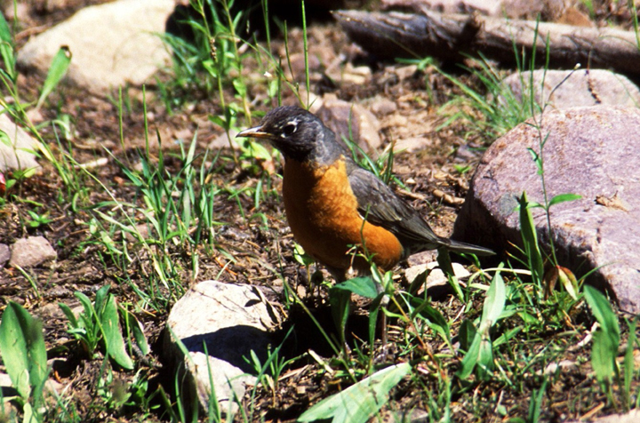 A small blackish grey bird with an orange belly stands among the rocks and alpine grasses.