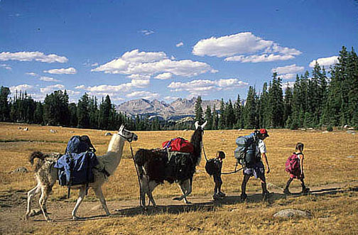 Three hikers and two Llamas follow a trail on a sunny day while coniferous trees stand in the background.