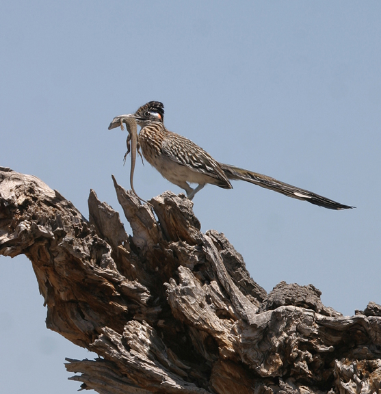 A roadrunner (geococcyx californianus) eating Gray-Checkered Whiptail Lizard (cnemidophorus dixoni) atop a dead tree stump in the Indian Well Wilderness Unit.