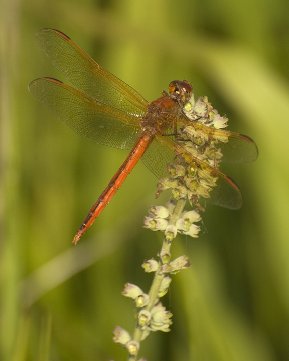 A close up of an orange dragonfly resting on a white flower.