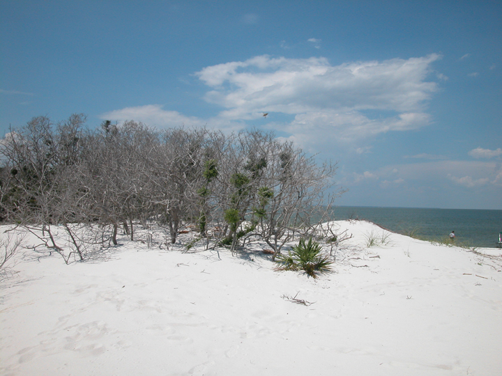 The brush on the white sandy seashore is gray and bleak.