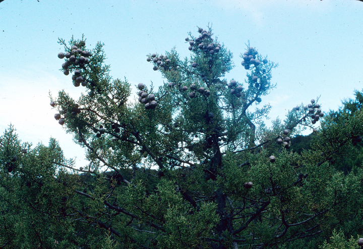 A tree is highlighted against the blue sky, showing off the massive cicular cones that crown its branches.