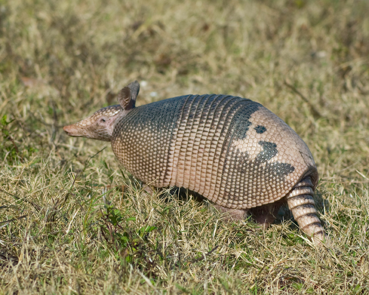 A gray and brown armadillo.