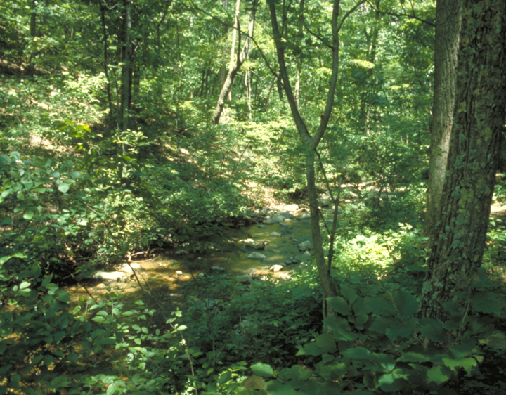 It is a primal looking forest, shaded entirely in different hues of green.  A slow creek tumbles through the undergrowth over stones and branches.