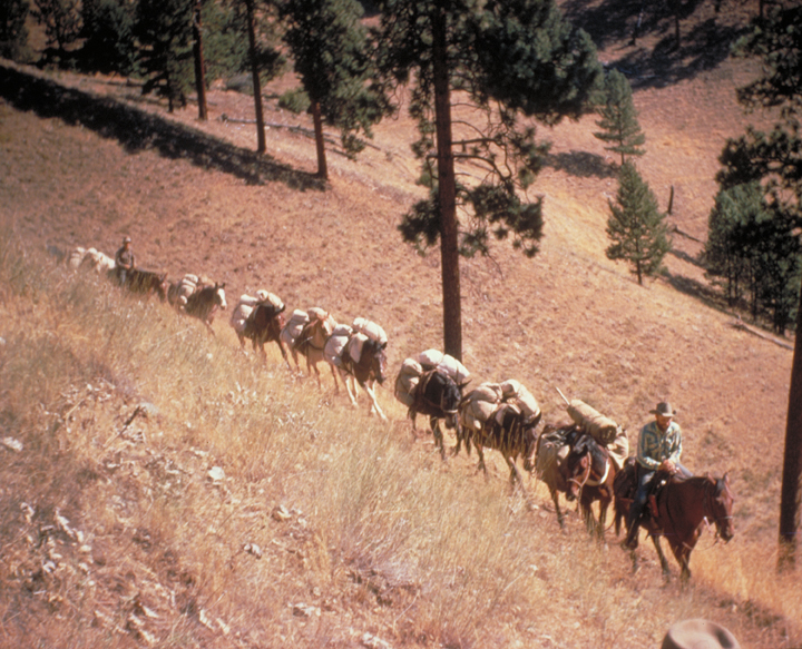 A long pack string weaves its way across a hillside covered in golden grasses.