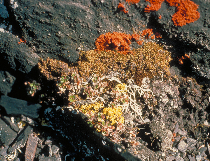 A close up of vibrant orange, yellow and gold lichens provide a sharp contrast against the dark black stone beneath them.