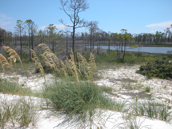A pond is seen in the distance, and hearty grasses growing in the sand can be seen in the foreground.