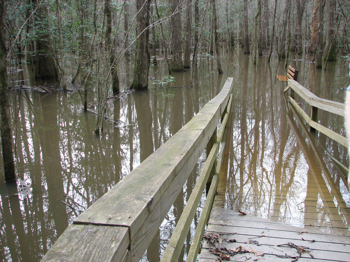 The partially submerged boardwalk leads into brackish waters.  Far out, a bench can be seen sunk up to its seat.