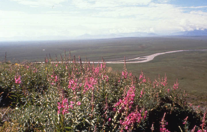Looking past a patch of tall pink wildflowers to a wide open valley below, a single river channel slicing through the open green tundra.