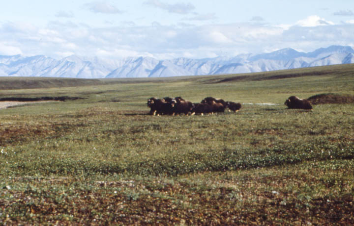 A small herd of brown musk ox, standing in a defensive circle on the open grassy tundra.