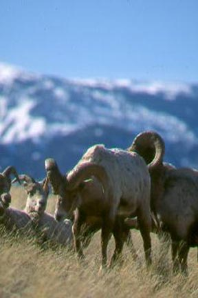 A close-up of a small group of bighorn sheep on a grassy slope, with a mountain landscape in the background.