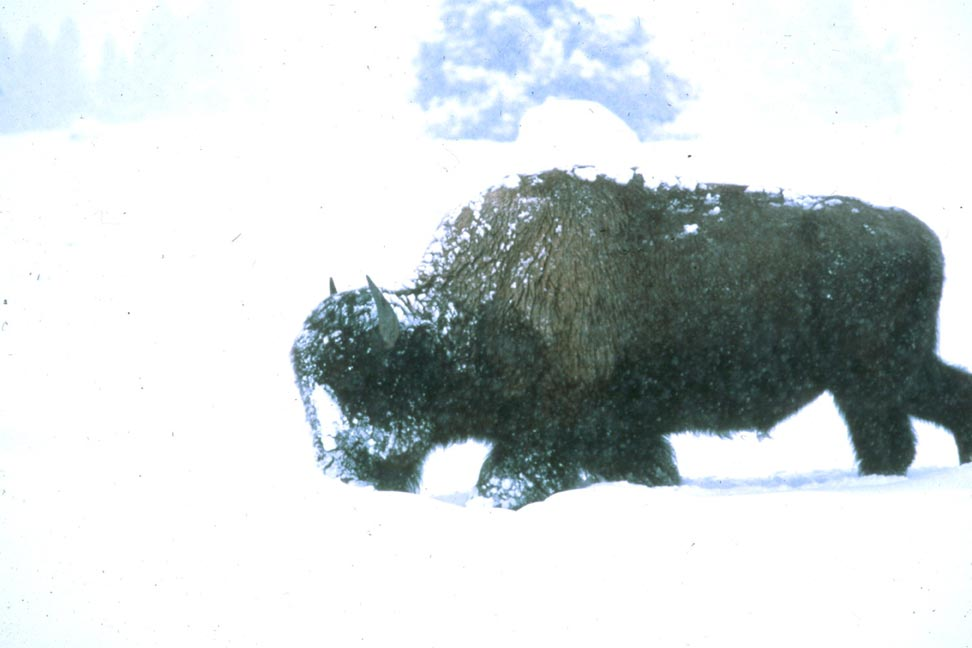 A large Bison, trudging through a white winter scene covered in heavy snow.