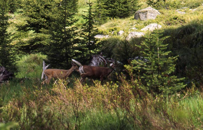 Two deer with white tails raised in alarm, running through a small meadow.