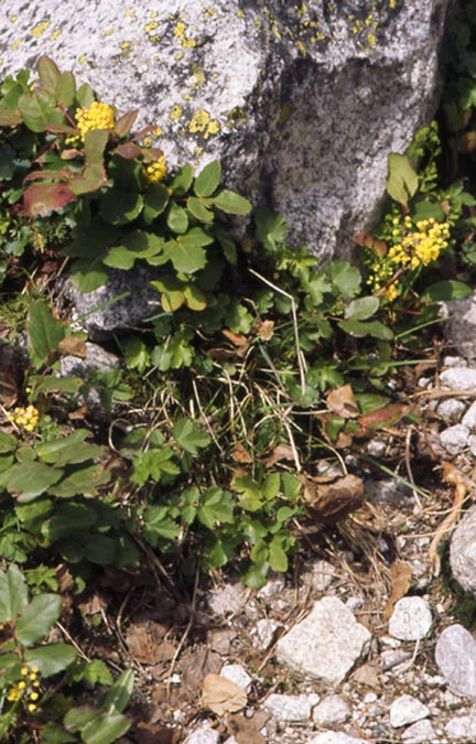 A close-up of several small plants with yellow blossoms, clustered around a small boulder.
