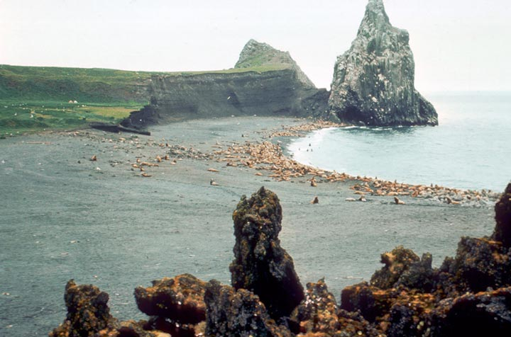 Steller sea lions and northern fur seals lounge on the beach of the Bogoslof Wilderness on an overcast day.