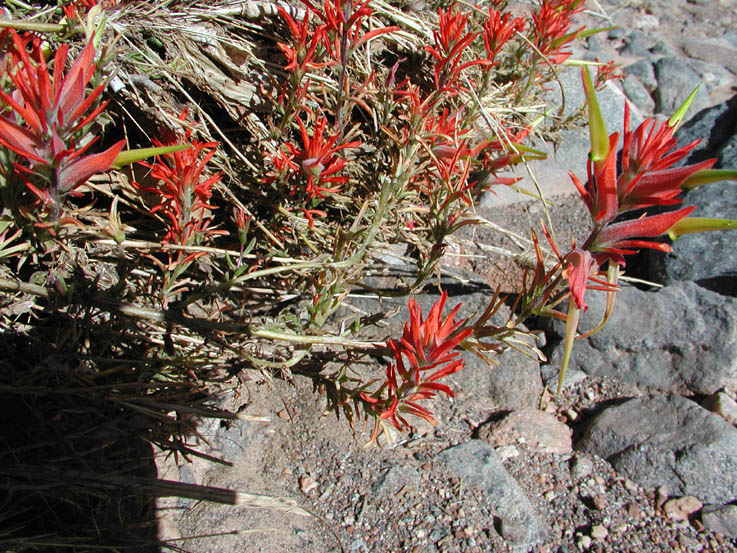 A close-up of a plant with spiky red flowers, surrounded by gray rock.