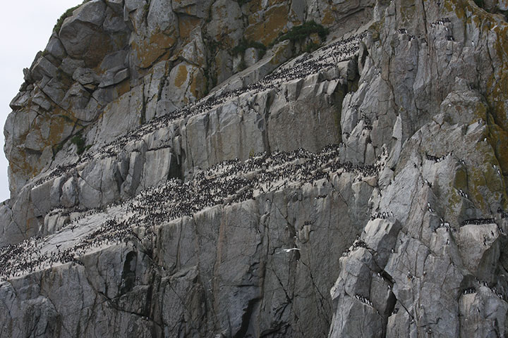 Seabirds nest on a rocky cliff