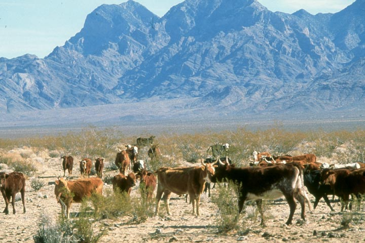 A large group of cattle on a desert plane surrounded by low brush, with high rocky mountains rising beyond.