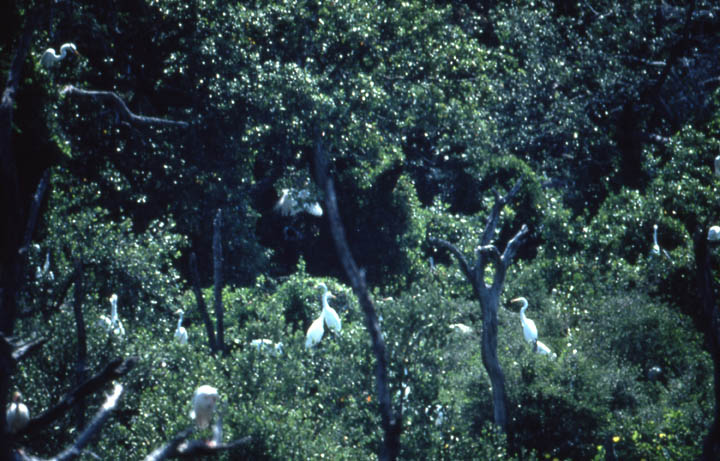 A small colony of large white birds, gathered in the tops of a clump of trees, surrounded by higher forest.