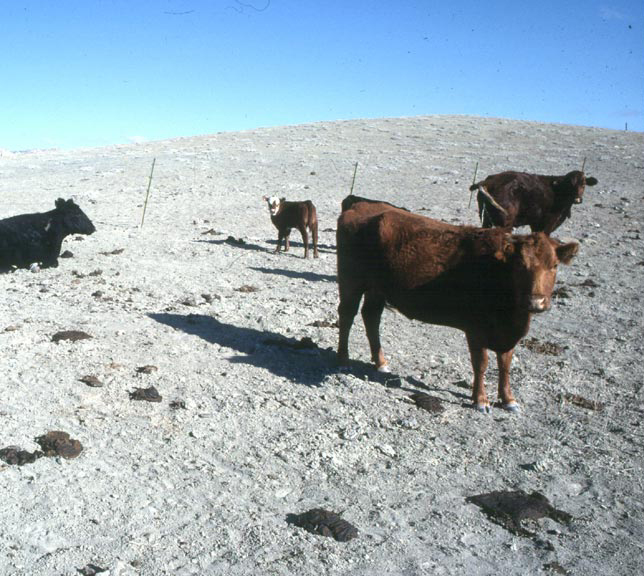 A small group of cattle, standing on a barren ridge of white gravel.