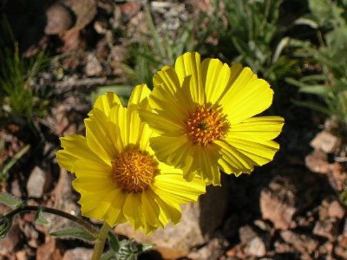 A close-up of two small yellow flowers with golden centers and textured petals.