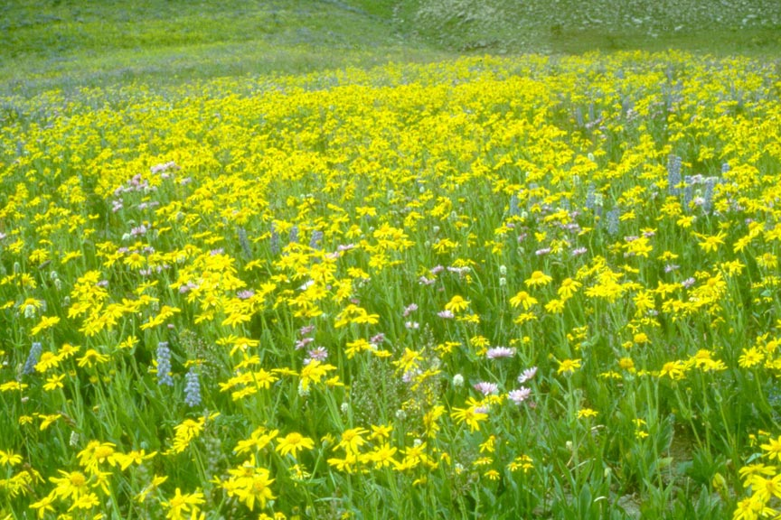 A meadow covered in a dense cover of yellow wildflowers, flecked with pink and purple.