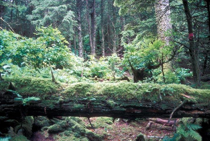 A fallen tree impeds a lush trail on Forrester Island. The area is full of green foliage and the fallen tree is covered in moss.