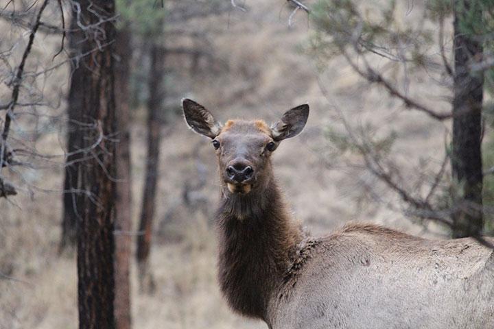 Elk cow looking at camera