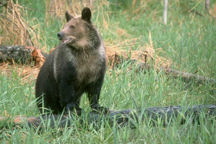 A young bear, standing on a log surrounded by tall green grass.