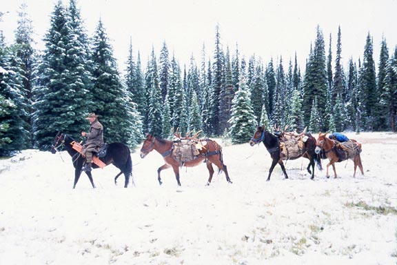 A man leading a small string of pack mules, through a snow-covered meadow, surrounded by dense forest trees.