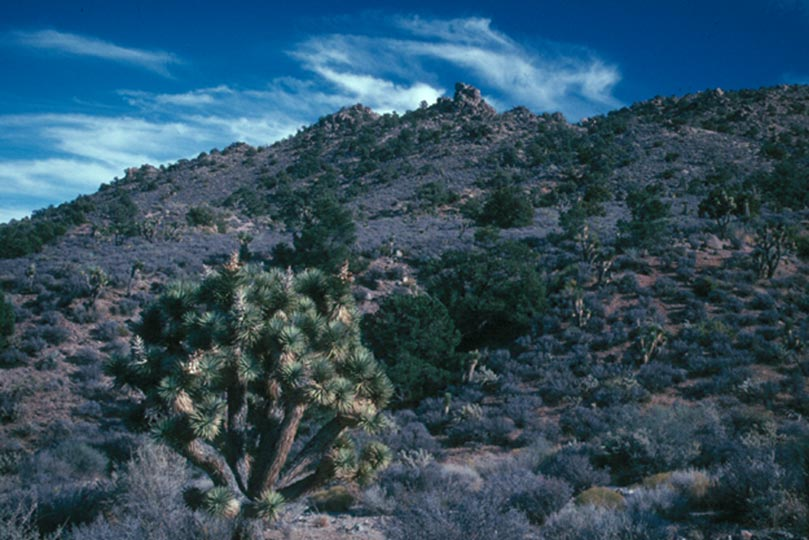 A deep blue sky with wispy clouds, high over a slope covered in green desert shrubs and small trees.