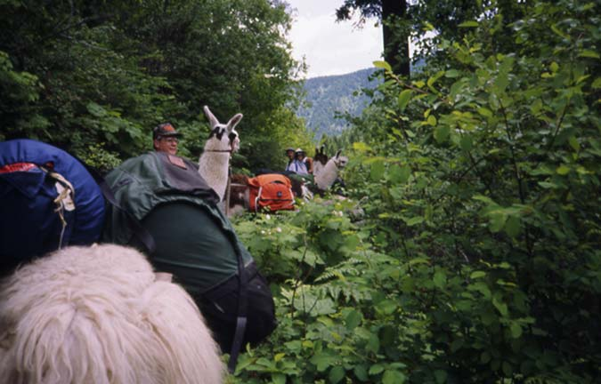 A string of pack llamas traveling down a narrow tail, with dense lush green foliage on either side.