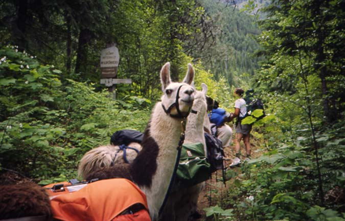 A white llama turns and looks back down the trail, as two backpackers study a boundary sign along the trail.