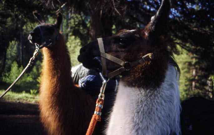 A close-up of two tethered Llamas surrounded by forest.