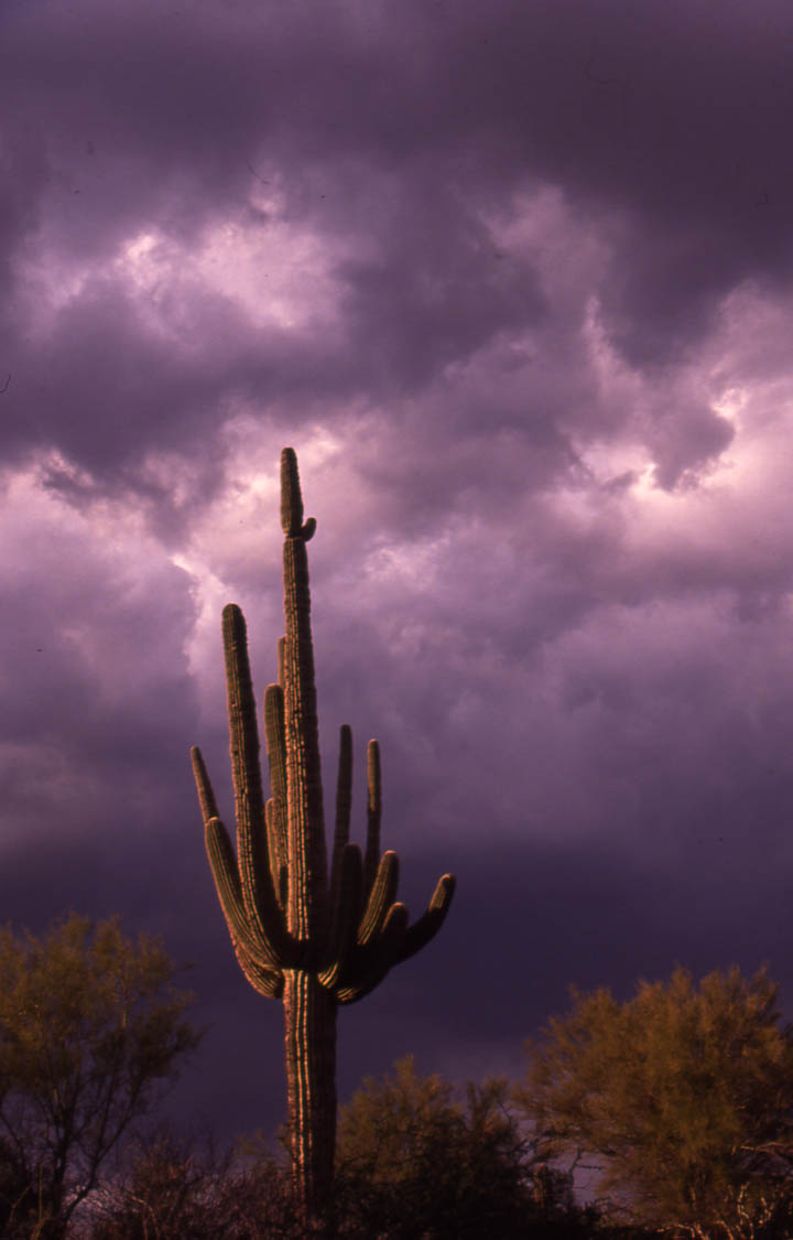 A tall cactus in golden evening light, standing alone against a background of tumultuous purple clouds above.