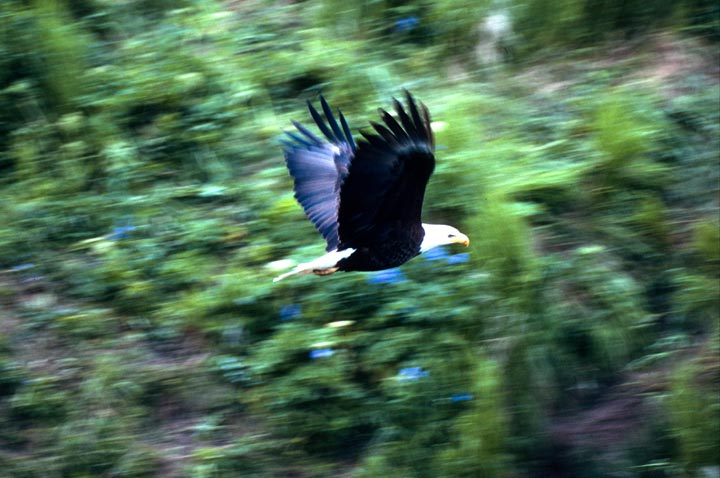 A mature eagle with a white head and tail, soaring past dense forest.