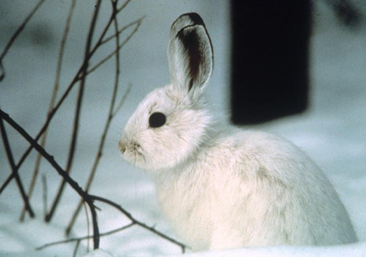 A close-up of a white Hare, surrounded by snow.