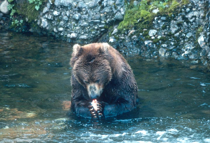 A coastal brown bear sitting in a large stream, feeding on a salmon clenched in its paws.