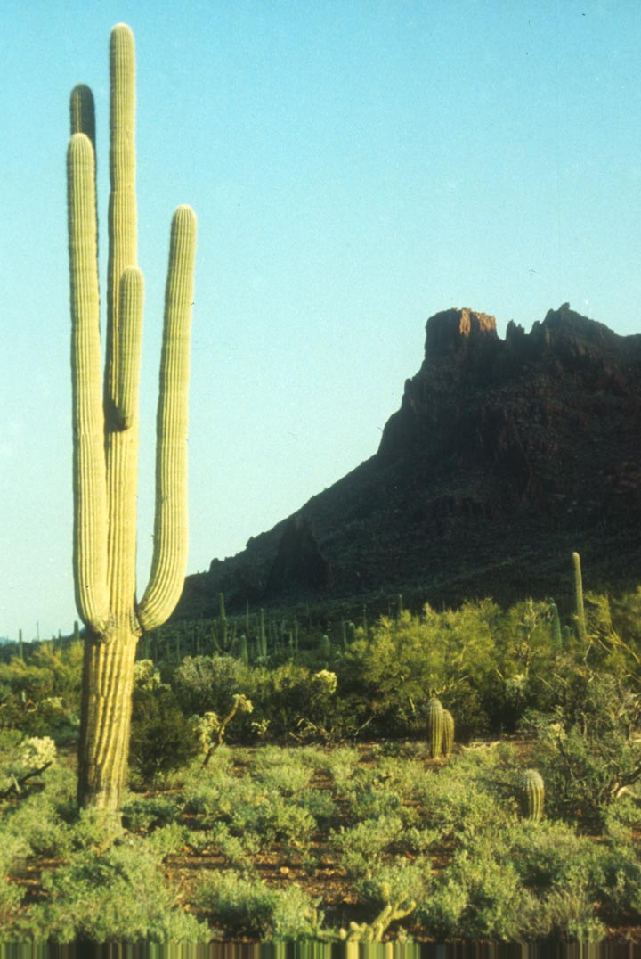 A tall slender cactus standing high above the green desert foliage, a low rocky mountain rises in the background, draped in black shadow.