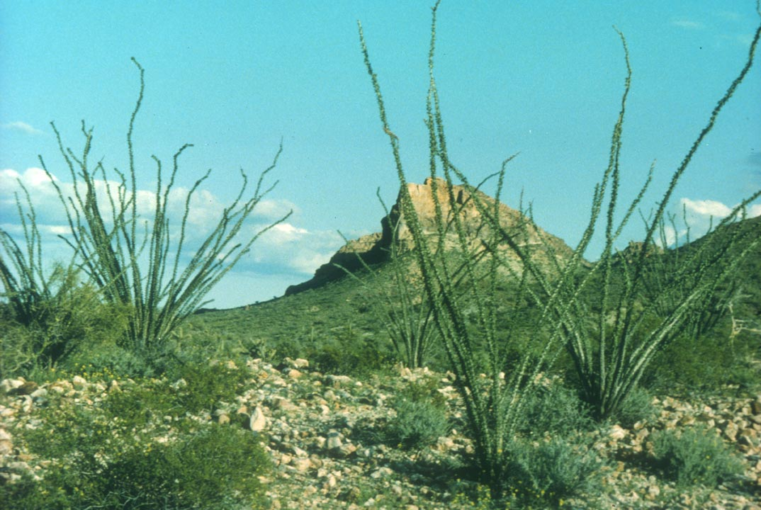 Tall spindly desert plants growing from the rocky ground, looking out to a lone peak in the distance.
