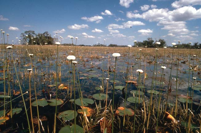 Lily pads and tall white flowers poke out of a swamp.
