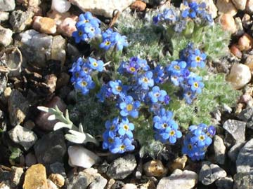A close-up of a cluster of small blue wildflowers, growing from the pebbly ground.