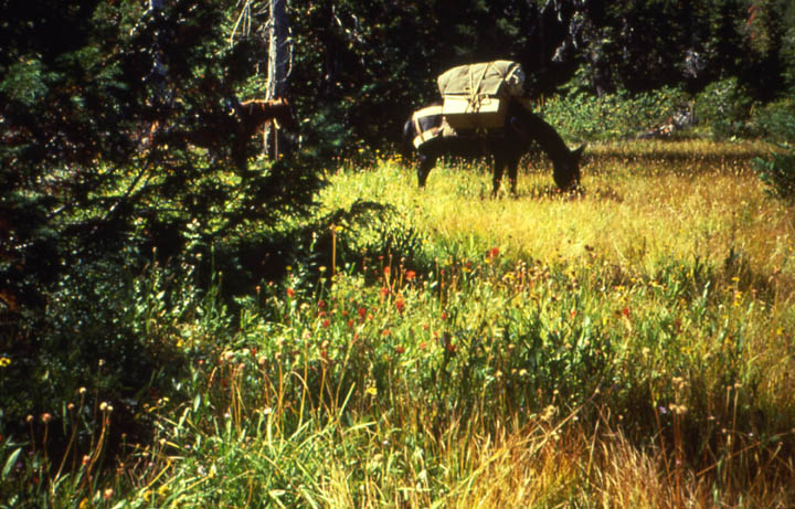 A loaded pack mule, grazing in a small forest meadow.